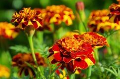 Tagetes Blumen lizenzfreies stockfoto