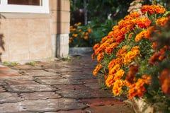 Tagetes-Blumen nach einem Regen Lizenzfreies Stockfoto