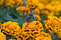 Tagetes and butterfly. Close-up of the tagetes with a butterfly Royalty Free Stock Images