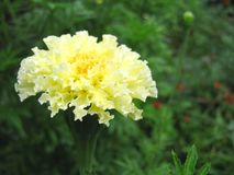 Tagetes: a Curly Yellow Flower stock photo
