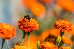 Tagetes de polinización de la flor del abejorro cerca para arriba Naturaleza hermosa Fotos de archivo