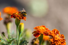 Tagetes de polinización de la flor del abejorro cerca para arriba Naturaleza hermosa Imagen de archivo