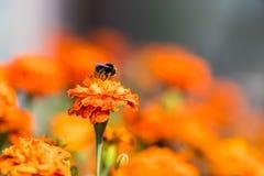 Tagetes de polinización de la flor del abejorro cerca para arriba Naturaleza hermosa Imágenes de archivo libres de regalías
