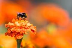 Tagetes de polinización de la flor del abejorro cerca para arriba Naturaleza hermosa Imagenes de archivo