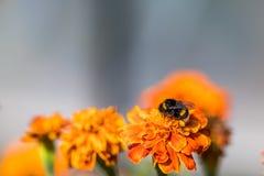 Tagetes de polinización de la flor del abejorro cerca para arriba Naturaleza hermosa Foto de archivo libre de regalías