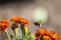 Tagetes de polinización de la flor del abejorro cerca para arriba Naturaleza hermosa Foto de archivo