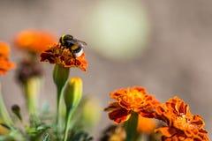Tagetes de polinización de la flor del abejorro cerca para arriba Naturaleza hermosa Fotos de archivo libres de regalías
