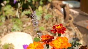 Tagetes de polinización de la flor del abejorro metrajes