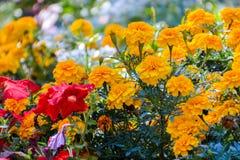 Tagetes in de tuin stock foto