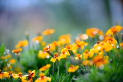 Tagetes with drops of morning dew Stock Photography