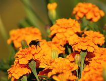Tagetes, een verscheidenheid van bloemenbonanza diepe sinaasappel royalty-vrije stock fotografie