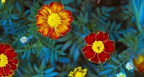 Tagetes en jardín del verano Amarillo y naranja florece maravillas Fotos de archivo