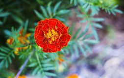 Tagetes en jardín del verano Maravillas anaranjadas de la flor Foto de archivo
