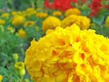 Tagetes erecta Stock Photos