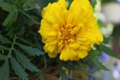 Tagetes erecta b. Tagetes erecta, the Mexican marigold or Aztec marigold, is a species of the genus Tagetes native to Mexico. Despite its being native to the stock images