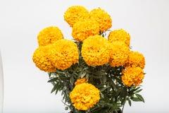 Tagetes Erecta conocido como amarillo de Cempasuchil imagen de archivo