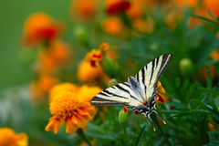 Tagetes erecta flower field and butterfly Stock Image
