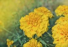 French yellow marigold anemone type stock photo