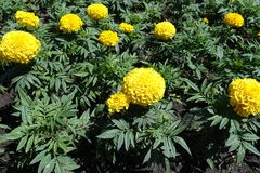 Tagetes erecta in bloom in May. Tagetes erecta in full bloom in May royalty free stock photos
