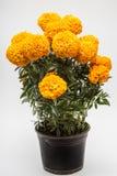 Tagetes Erecta known as Cempasuchil yellow full Stock Photo