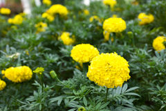 Tagetes erecta L or Marigold beautiful flower Stock Image