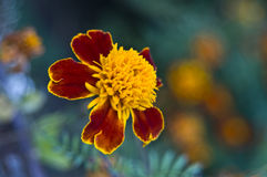 Tagetes erecta (marigolds) Royalty Free Stock Photography