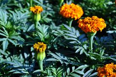 Tagetes erecta Marigolds glade blooming flowers and buds growing on dark green leaves. Background royalty free stock image