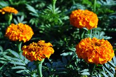 Tagetes erecta Marigolds glade blooming flowers growing on dark green leaves. Background royalty free stock photo