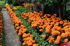 Cenpasuchitl or zenpasuchitl. Flower of the Dead. Shallow depth royalty free stock images