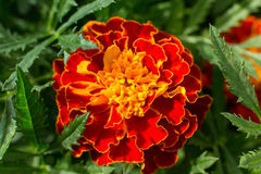 Tagetes erecta. Mexican marigold, Aztec marigold, African marigold close up. Beautiful flowers stock image