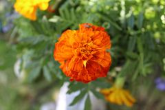 Tagetes erecta a. Tagetes erecta, the Mexican marigold or Aztec marigold, is a species of the genus Tagetes native to Mexico. Despite its being native to the stock photo