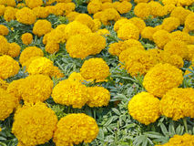 Tagetes Erecta. Yellow Flower Field Royalty Free Stock Photography