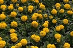 Tagetes est un genre Image libre de droits
