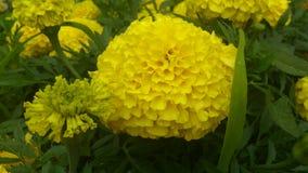 Tagetes Flores amarillas Fotografía de archivo libre de regalías