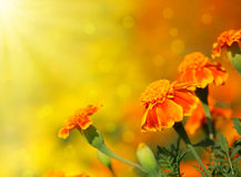 Tagetes flower. Close-up of  tagetes flower.Summer background Royalty Free Stock Images
