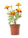 Tagetes flower. Isolated on white background Royalty Free Stock Photo
