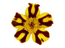 Tagetes flower. Isolated yellow - brown Tagetes flower Royalty Free Stock Photos