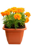 Tagetes flower in balcony flowerpot. Isolated on white background stock image