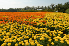 Tagetes flower field Stock Photography