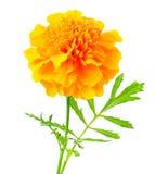 Tagetes flower. Isolated on white background Stock Image