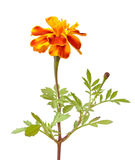 Tagetes flower Royalty Free Stock Photo
