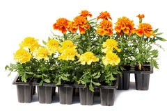 Tagetes flower seedlings in containers Royalty Free Stock Photos