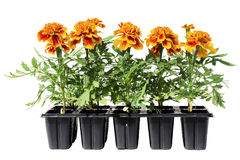 Tagetes flower seedlings on white background Royalty Free Stock Photography