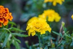 Tagetes. Flower in summer garden Stock Photos