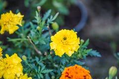 Tagetes. Flower in summer garden Stock Images