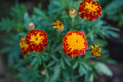 Tagetes. Flower in summer garden Royalty Free Stock Photos