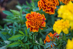 Tagetes. Flower in summer garden Royalty Free Stock Image