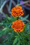 Tagetes. Flower in summer garden Stock Image