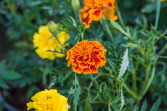 Tagetes. Flower in summer garden Royalty Free Stock Images
