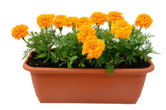 Tagetes flowers. In balcony flowerpot isolated on white background royalty free stock photography